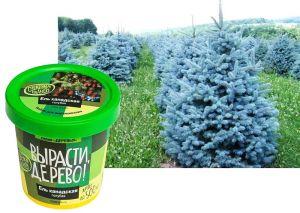 Набор для выращивания  'Ель канадская голубая'