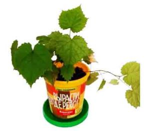 Набор для выращивания  'Виноград Амурский'